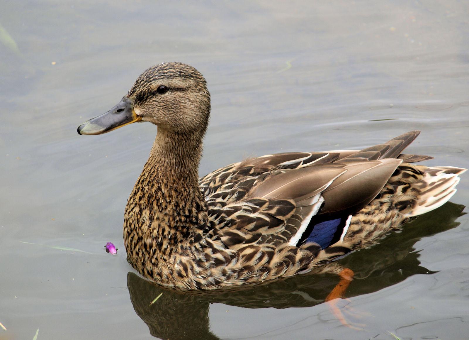 Aviární influenza (ptačí chřipka) - související opatření