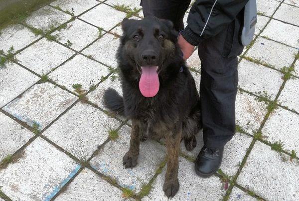 Nález psa - německý ovčák